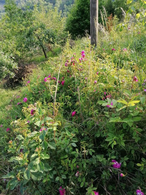 wild rose petal bushes