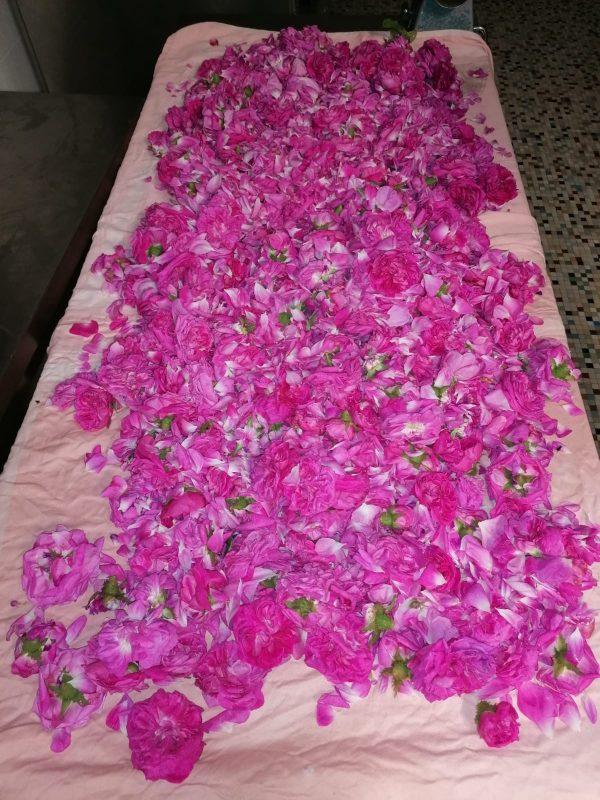 rose petals getting dry
